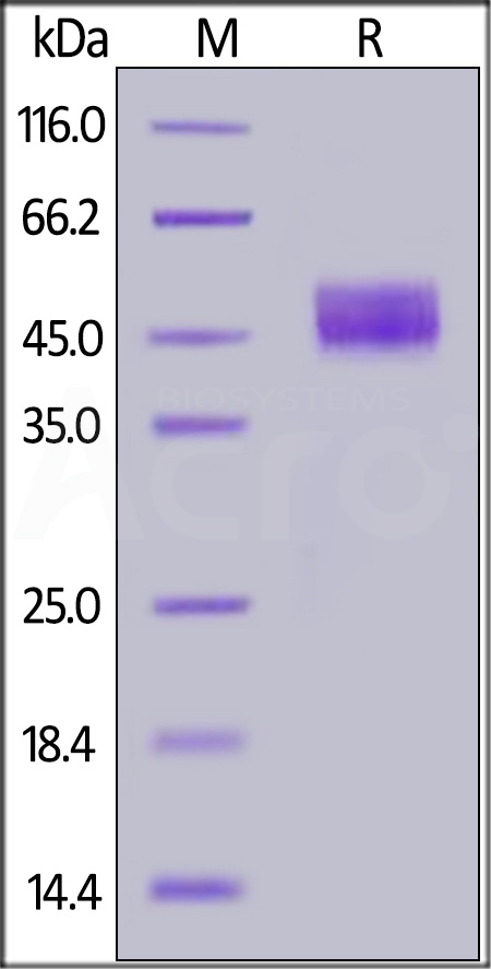 Human CD64, His Tag (Cat. No. FCA-H52H1) SDS-PAGE gel