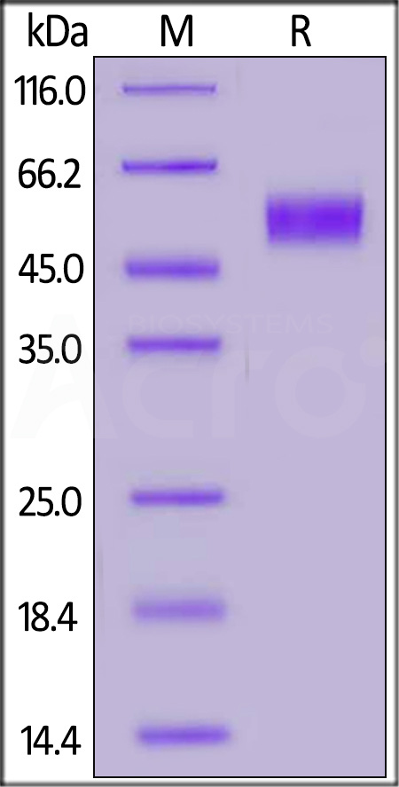 Biotinylated Human CD64, His,Avitag (SPR & BLI verified) (Cat. No. FCA-H82E8) SDS-PAGE gel