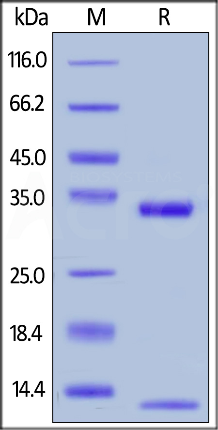 Human FCGRT&B2M Heterodimer Protein, His Tag&Strep II Tag (SPR & BLI verified) (Cat. No. FCM-H5286) SDS-PAGE gel