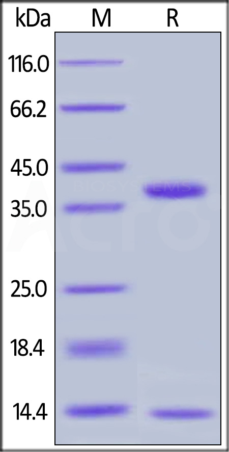 Biotinylated Human FCGRT&B2M Heterodimer Protein, Avitag,His Tag&Strep II Tag (SPR & BLI verified) (Cat. No. FCM-H82W4) SDS-PAGE gel