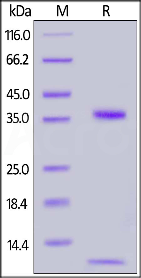 Biotinylated Human FCGRT&B2M Heterodimer Protein, His,Avitag (Cat. No. FCM-H82W7) SDS-PAGE gel