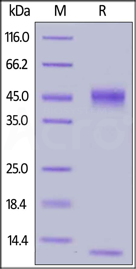 Mouse FCGRT&B2M Heterodimer Protein, His Tag (BLI verified) (Cat. No. FCM-M52W8) SDS-PAGE gel