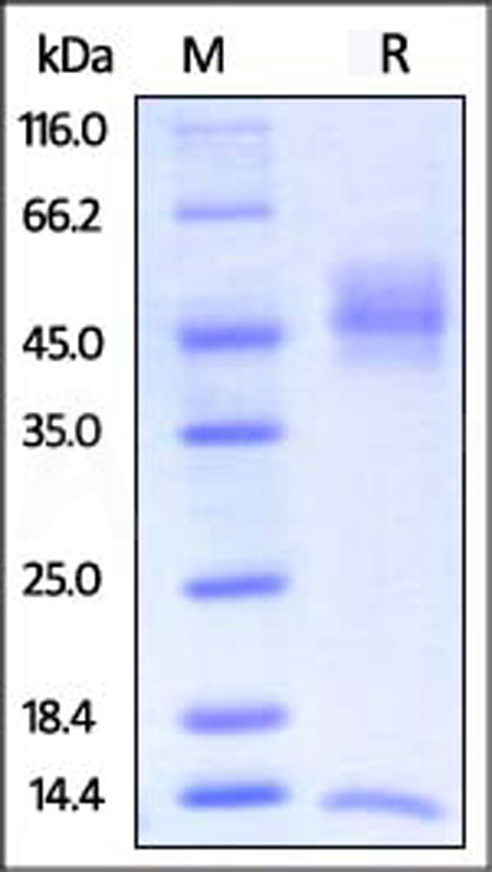 Biotinylated Rat FCGRT&B2M Heterodimer Protein, Avitag,His Tag&Strep II Tag (Cat. No. FCM-R82W7) SDS-PAGE gel