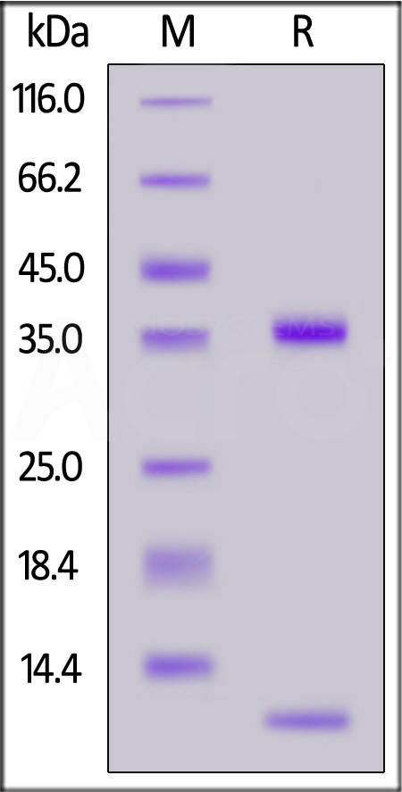 Biotinylated Bovine FcRn Heterodimer Protein (Cat. No. FCN-B82W3) SDS-PAGE gel