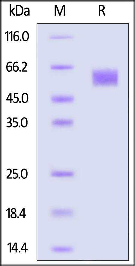 Human FGF R4, His Tag (Cat. No. FG4-H5228) SDS-PAGE gel