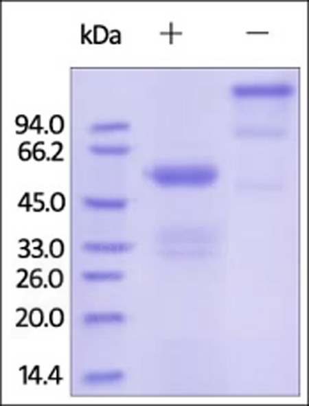 Human FGF-9, Fc Tag (Cat. No. FG9-H4267) SDS-PAGE gel
