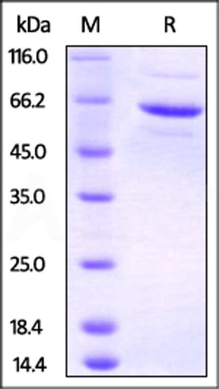 Human FKBP4, His Tag & PA Tag (Cat. No. FK4-H52Q3) SDS-PAGE gel