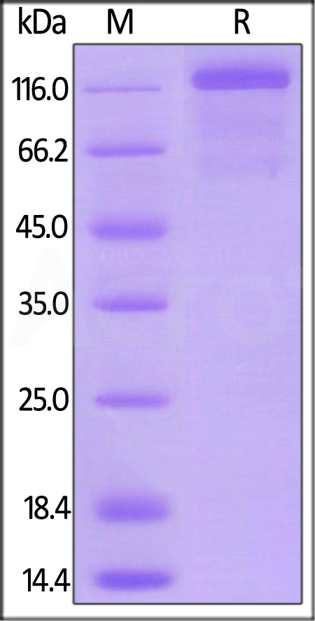 Mouse VEGF R3, Mouse IgG2a Fc Tag, low endotoxin (Cat. No. FL4-M5251) SDS-PAGE gel