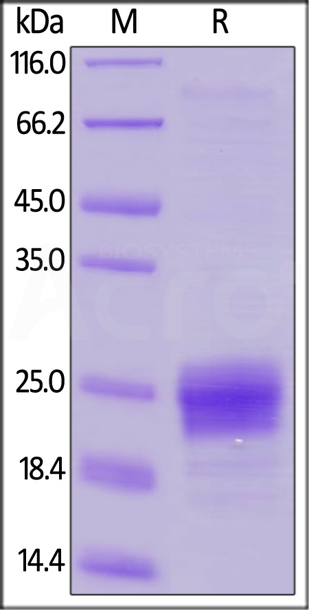 Human Flt-3 Ligand, His Tag (Cat. No. FLL-H55H7) SDS-PAGE gel