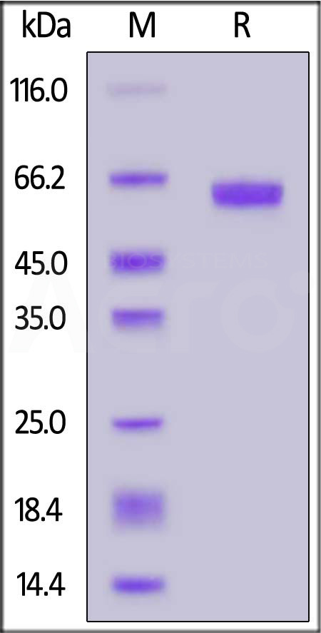 Human FOLR1, Fc Tag (Cat. No. FO1-H5253) SDS-PAGE gel