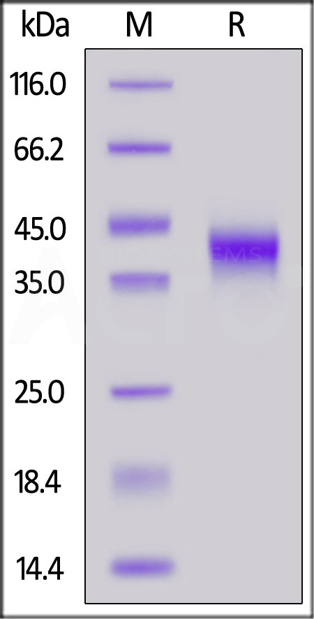 Biotinylated Human FOLR1, His Tag, Avi Tag (Cat. No. FO1-H82E2) SDS-PAGE gel