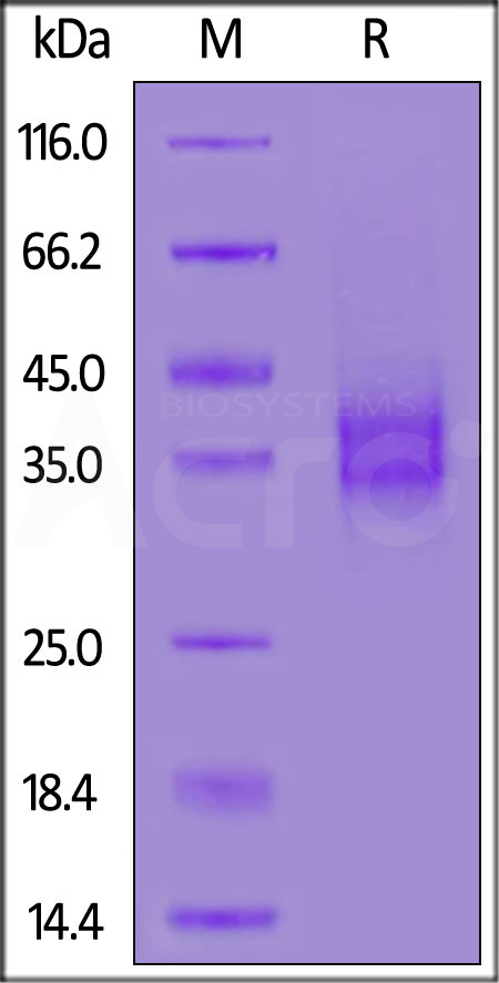 Biotinylated Mouse FOLR1, His,Avitag (Cat. No. FO1-M82E9) SDS-PAGE gel