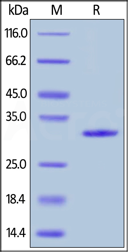 Human Galectin-3, His Tag (Cat. No. GA3-H5129) SDS-PAGE gel