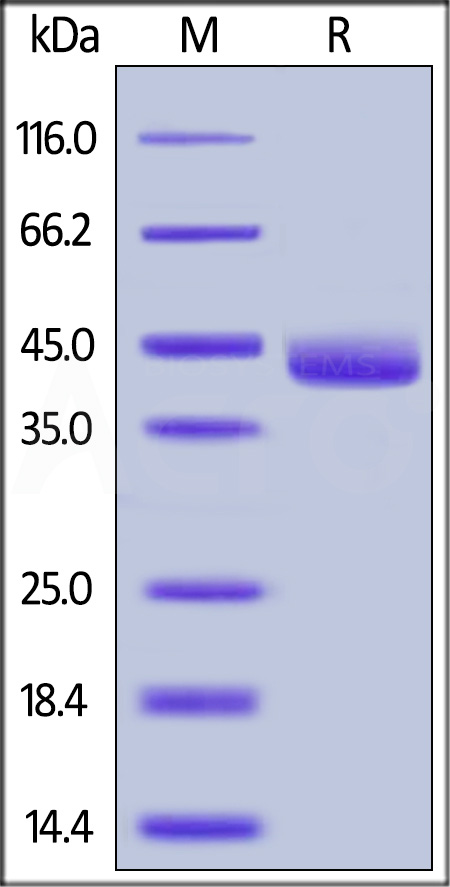 Mouse Galectin-4, His Tag (Cat. No. GA4-M5247) SDS-PAGE gel