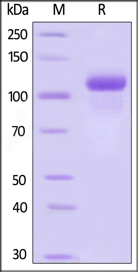 Human G-CSF R, Fc Tag (Cat. No. GCR-H5250) SDS-PAGE gel