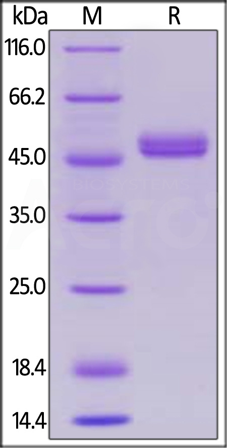 Biotinylated Human GITR Ligand, Fc Tag, Avi Tag (Cat. No. GIL-H82F8) SDS-PAGE gel