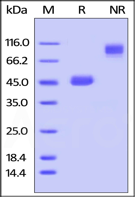 Mouse GITR Ligand, Fc Tag (Cat. No. GIL-M526x) SDS-PAGE gel