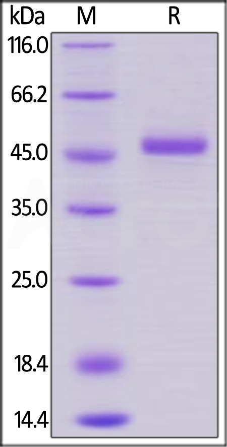 Human GITR, Fc Tag (Cat. No. GIR-H5254) SDS-PAGE gel