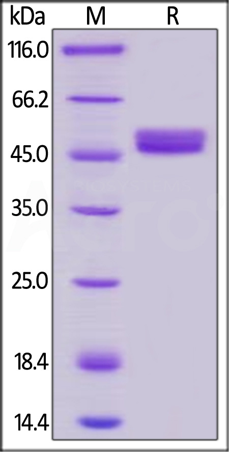 Human GITR, Mouse IgG2a Fc Tag, low endotoxin (Cat. No. GIR-H525a) SDS-PAGE gel