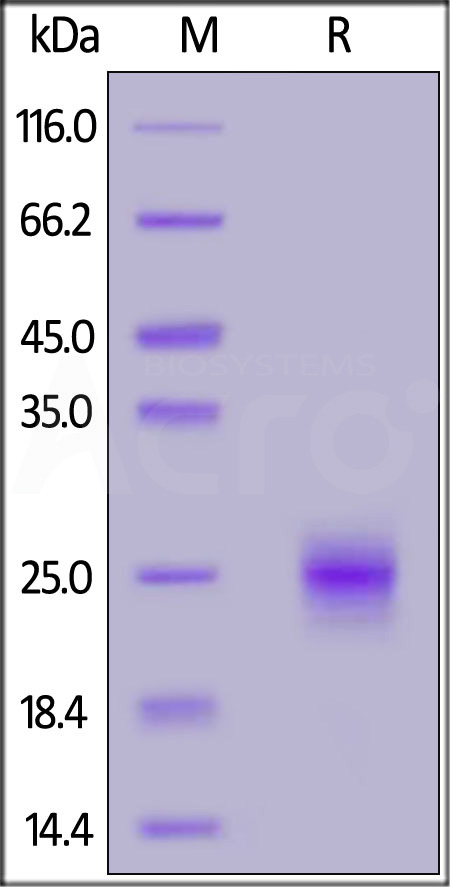 Biotinylated Human GITR, His,Avitag™ (Cat. No. GIR-H82E1) SDS-PAGE gel