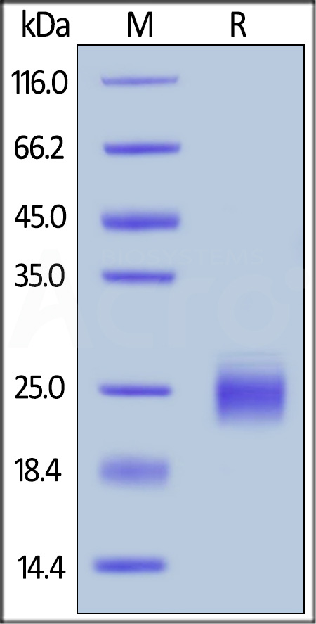 Biotinylated Human GITR, His,Avitag (Cat. No. GIR-H82E4) SDS-PAGE gel