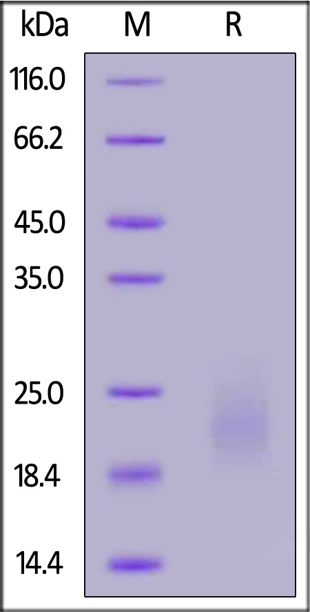 Biotinylated Human GM-CSF (Cat. No. GMF-H8214) SDS-PAGE gel