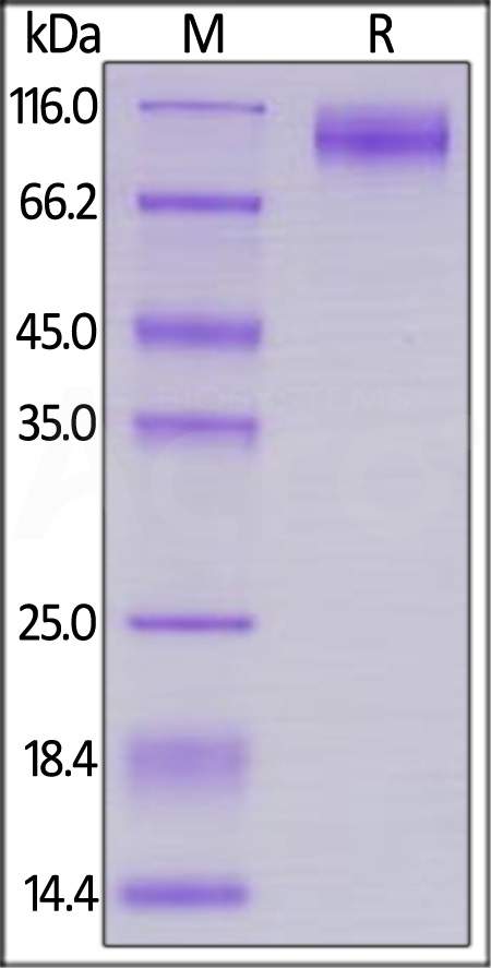 Biotinylated HIV-1 [HIV-1/Clade B/C (CN54)] GP120, His,Avitag (Cat. No. GP0-V182E6) SDS-PAGE gel