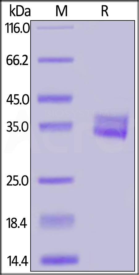 Biotinylated Human GPA33 (Cat. No. GP3-H8224) SDS-PAGE gel