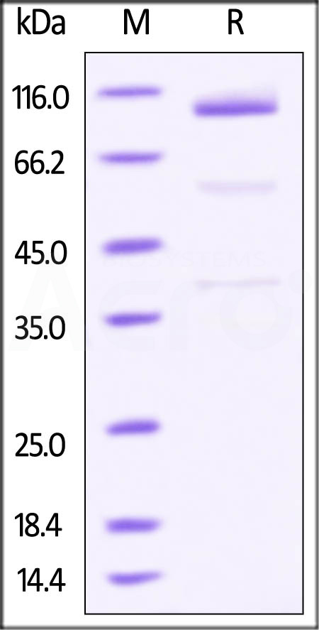 Mouse Glypican 3, Fc Tag (Cat. No. GP3-M5254) SDS-PAGE gel