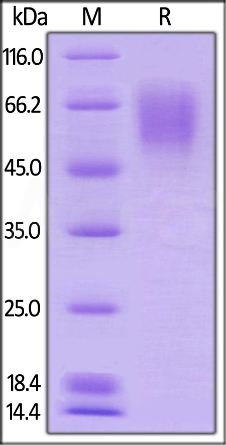 Biotinylated Influenza A[A/Guinea fowl(H9N2)]HA1 (Cat. No. HA1-V82E2) SDS-PAGE gel