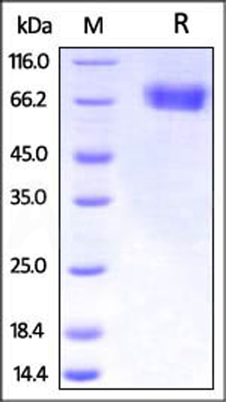 Influenza A[A/Guinea fowl/Hong Kong(H9N2)]HA (Cat. No. HA2-V5227) SDS-PAGE gel