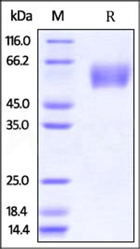 Influenza A[A/Guinea fowl/Hong Kong(H9N2)]HA1 (Cat. No. HA2-V52H8) SDS-PAGE gel