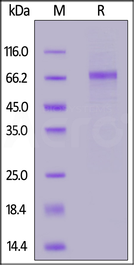 Human Serpin D1, His Tag (Cat. No. HC2-H5224) SDS-PAGE gel