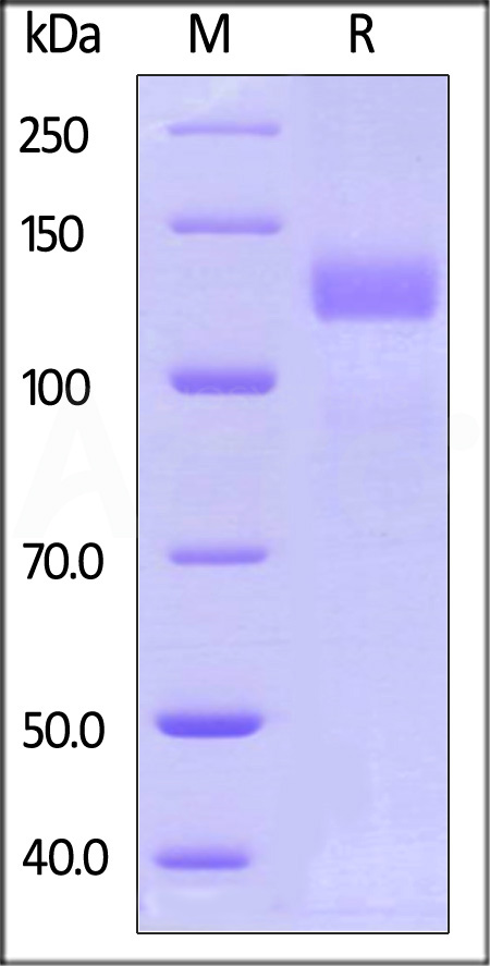 Human Her2, Fc Tag (Cat. No. HE2-H5253) SDS-PAGE gel