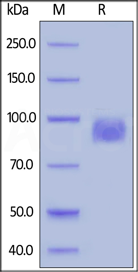 Biotinylated Human Her2, Superior Sensitivity (Cat. No. HE2-H822R) SDS-PAGE gel