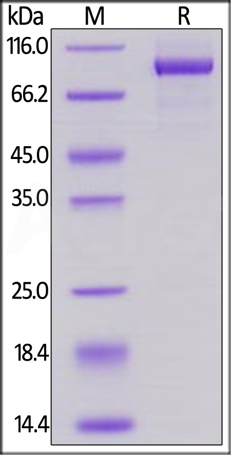 Biotinylated Human Her2, His Tag, Avi Tag (Cat. No. HE2-H82E2) SDS-PAGE gel