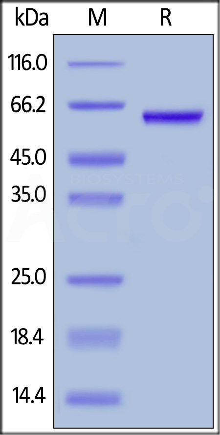 Human HMGB1, Mouse IgG2a Fc Tag, low endotoxin (Cat. No. HM1-H5255) SDS-PAGE gel