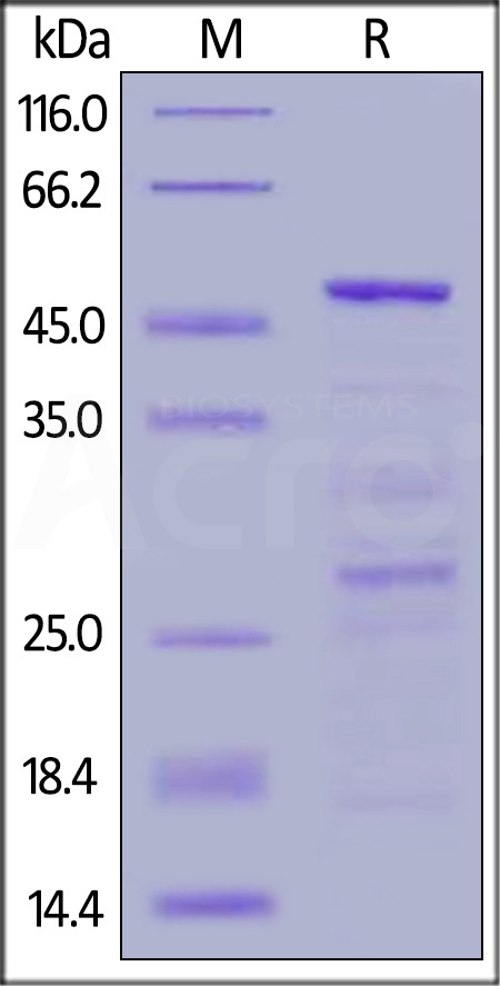 Human HSP90AA1, GST Tag (Cat. No. HS1-H513x) SDS-PAGE gel
