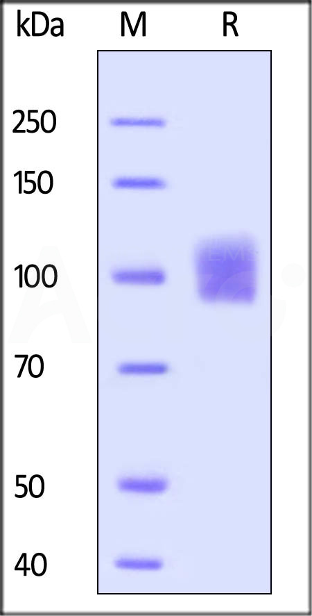 Human ICAM-1, Fc Tag (Cat. No. IC1-H5250) SDS-PAGE gel