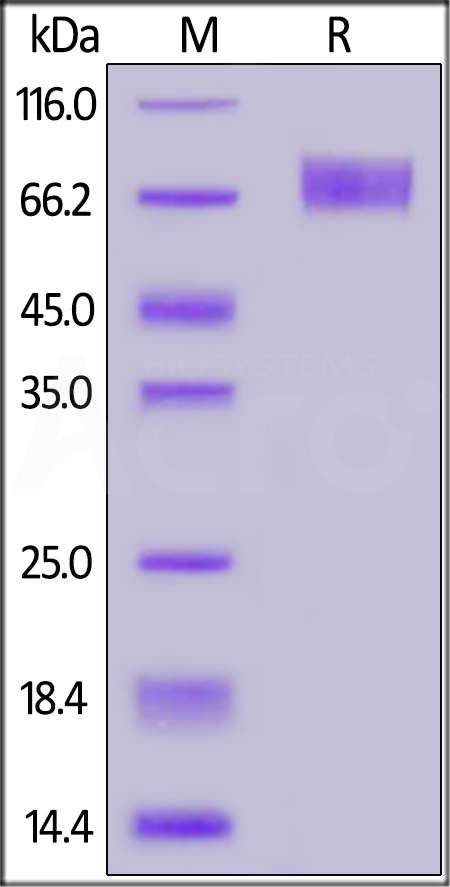 Human IFNAR2, Fc Tag (Cat. No. IF2-H5255) SDS-PAGE gel