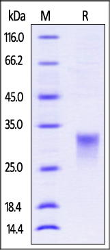 ActiveMax® Recombinant Mouse IFN-beta (Cat. No. IFB-H421y) SDS-PAGE gel