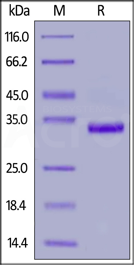 Human IgG1 Fc, gD Tag (Cat. No. IG1-H52G6) SDS-PAGE gel