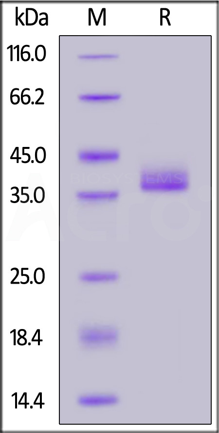 Human IgG Fc, Tag Free (Cat. No. IG3-H5200) SDS-PAGE gel