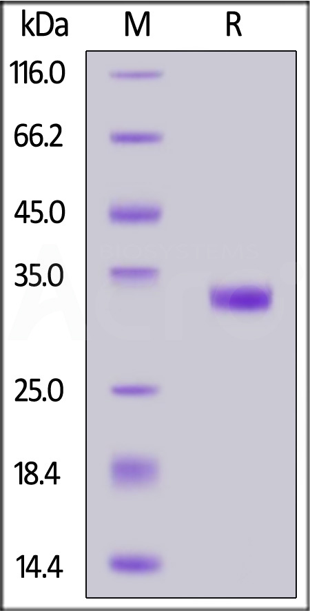 Biotinylated Mouse IgG2a Fc, Tag Free (Cat. No. IGA-M8210) SDS-PAGE gel
