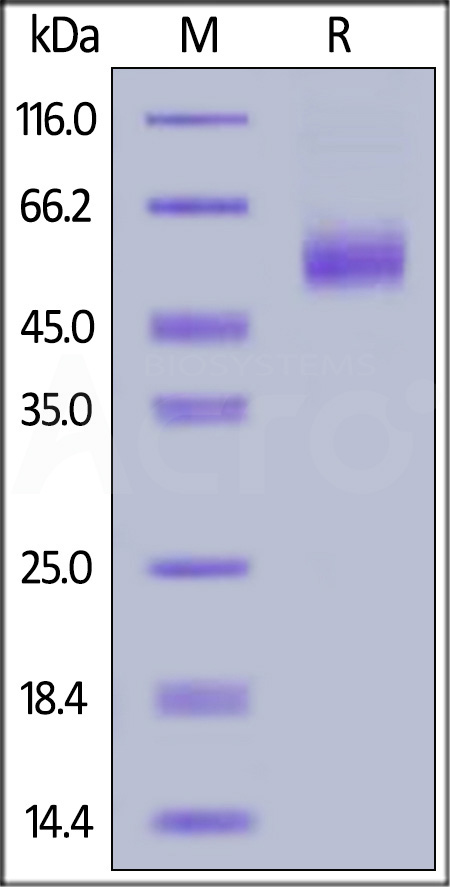 Human IL-13, Fc Tag (Cat. No. IL3-H5256) SDS-PAGE gel