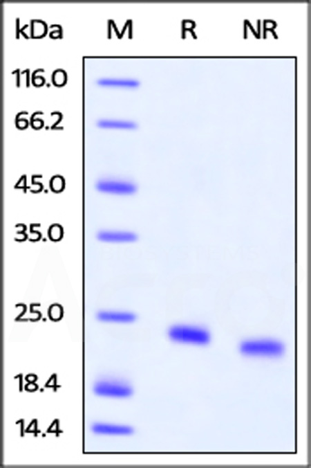 Biotinylated Human IL-4, His Tag (Cat. No. IL4-H82E0) SDS-PAGE gel