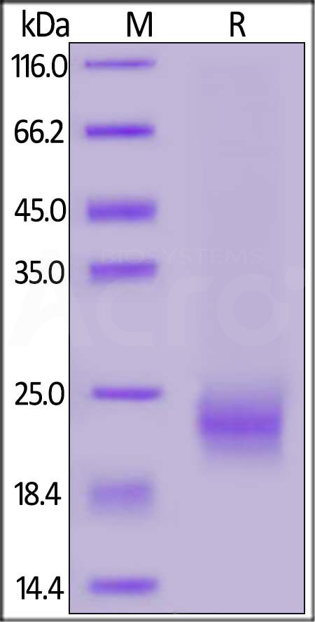 Biotinylated Human IL-5, His,Avitag (Cat. No. IL5-H82Q5) SDS-PAGE gel