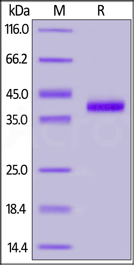 Human IL-8, Fc Tag (Cat. No. IL8-H5258) SDS-PAGE gel