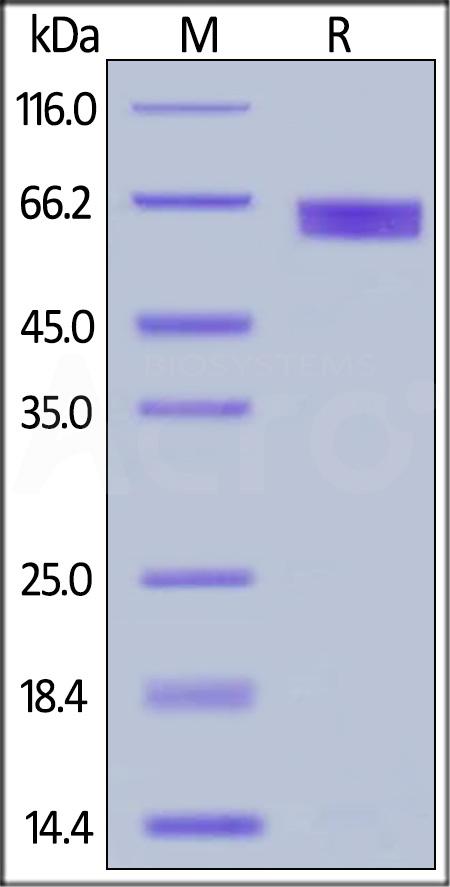 Human IL-2 R alpha Protein, Fc Tag (HPLC-verified) (Cat. No. ILA-H5251) SDS-PAGE gel