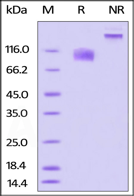Biotinylated Human IL-17 RA, Fc Tag (Cat. No. ILA-H82F1) SDS-PAGE gel